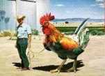 欧洲转基因鸡 航空母鸡比牛还大且可以犁地