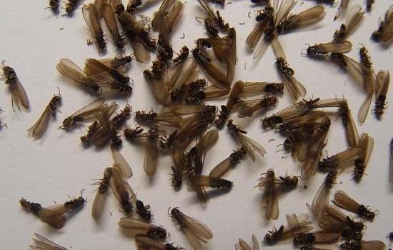 白蚁飞入家该怎样灭杀?