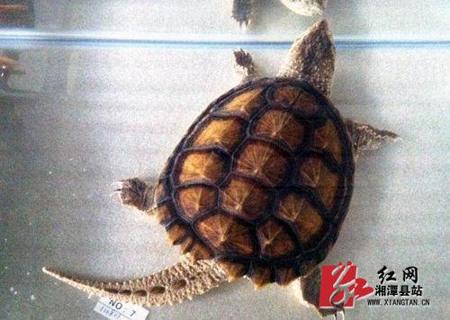 小乌龟出壳步骤图