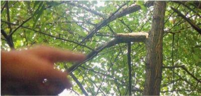 这棵结满银杏果的大树,成了黄明坚的终点。