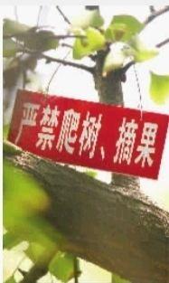 """长沙市桂花公园的银杏树上挂着""""严禁爬树、摘果""""的小红牌。 实习生 何佳乐 摄"""