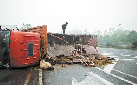 大货车侧翻后,40多匹马跑出,10多匹不同程度受伤。