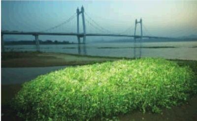 11月19日,长沙市捞刀河与湘江交汇处,水葫芦几乎覆盖整个河道。 记者 李丹 摄