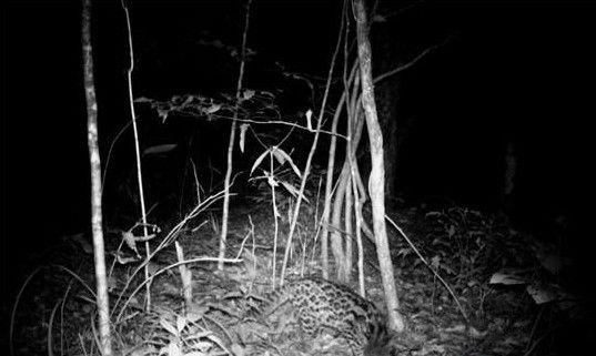 图为用红外线照相机拍摄的云豹