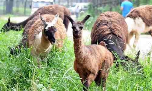 长沙生态动物园从澳大利亚引进了3公3母6