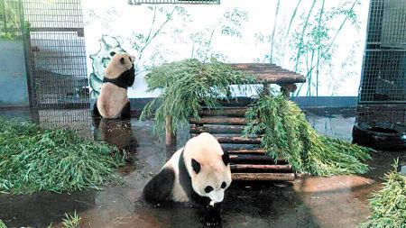 """长沙动物园熊猫馆现""""真假竹子"""""""