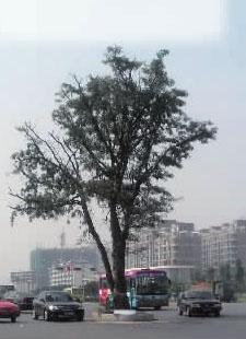 """衡阳""""最牛钉子树""""一夜失踪"""