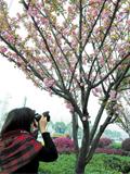 长沙添1.7公里樱花带