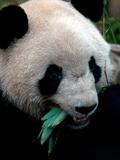 成都熊猫姑娘明天来长沙