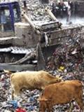 吃垃圾长出的牛肉销往长沙