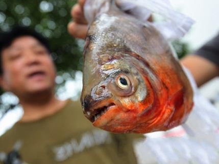 浏阳人钓起食人鱼
