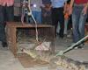 村民抓获鳄鱼