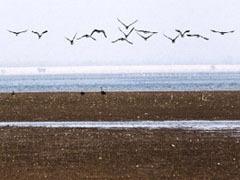 候鸟集结洞庭湖